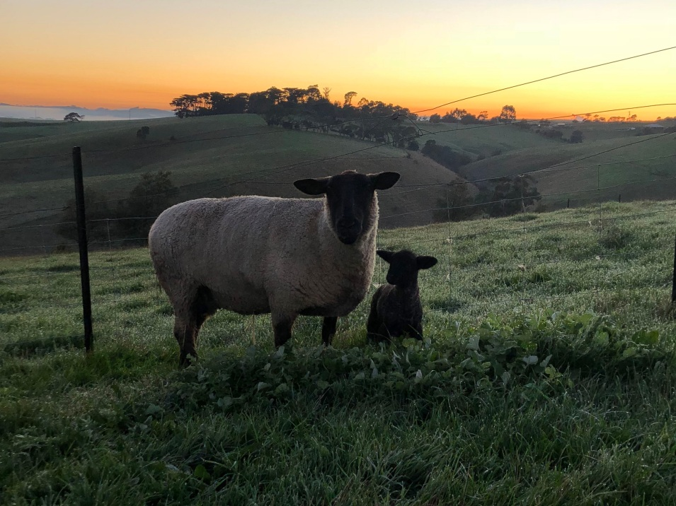 lola lamb